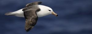 Albatros-à-sourcils-noirs